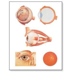 3B Scientific V2011U The Eye I Anatomy Chart, without Wooden Rods