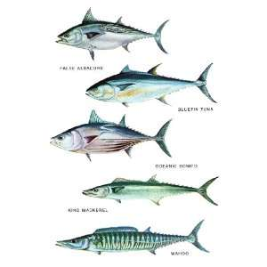 Saltwater Fish Poster, False Albacore, Bluefin Tuna, Oceanic Bonito