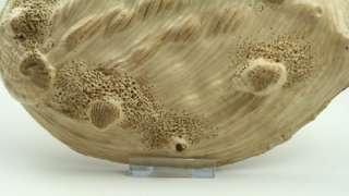 Fine Rare 19thC Meiji Japanese Satsuma Shell Shaped Oyster Bowl