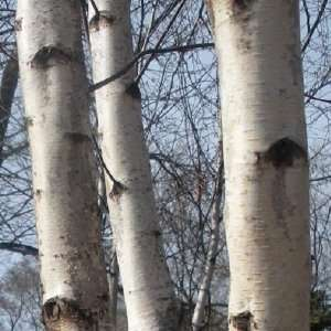 Japanese White Birch, 3 4 Ft. Tree Patio, Lawn & Garden