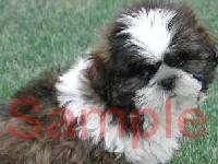 BLACK & WHITE SHIH TZU PUPPY DOG Photo Italian Charm