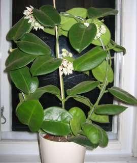 Hoya Calycina Epiphyllum Jungle Growing Succulent Extremely Rare