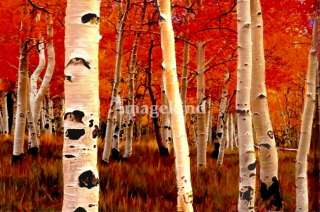 birch trees Art Prints by Tom Sachse   Shop Canvas and Framed Wall Art